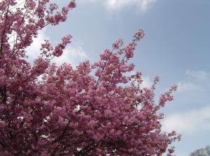 Sakura 016
